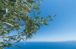 ulivi appennino ligure zingaro di macondo