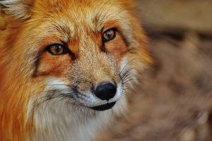 volpe in montagna vivere sull'appennino ligure zingaro di macondo